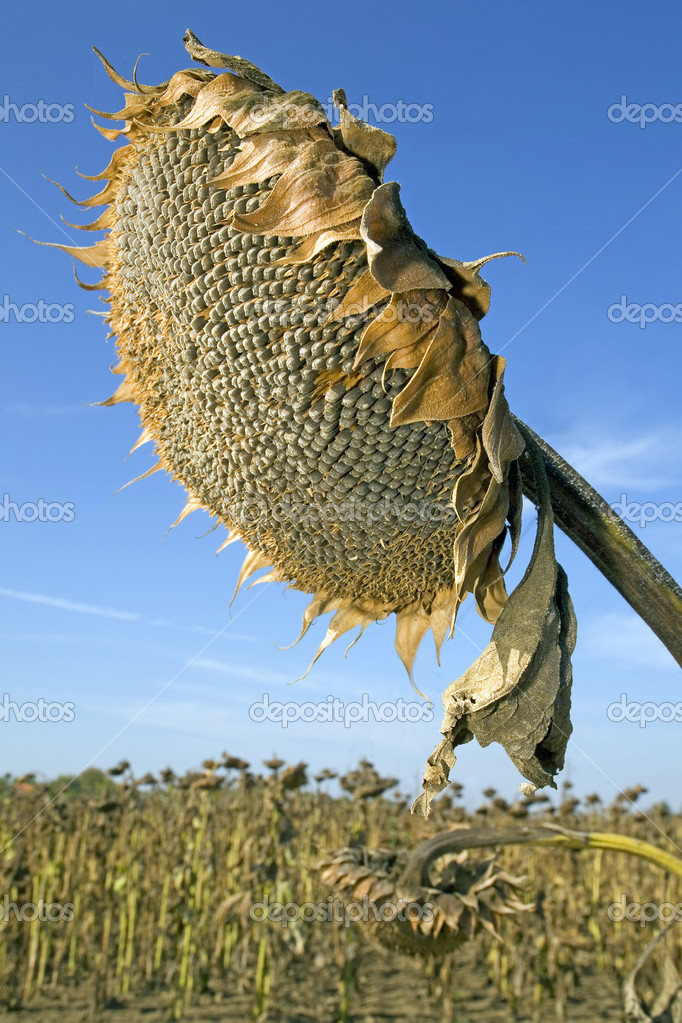Harvesting of sunflower seeds at field in Europe — Stock Photo #7188254