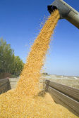 Dumping corn seeds — Stock Photo