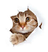 Cat looking up in paper side torn hole isolated — Stock Photo