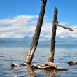 Wild nature. Dead trees on the shore of Lake Hovsgol. — Stock Photo