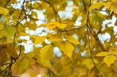 Yellow fall foliage — Stock Photo