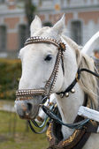 Head of white horse with harness. — Stock Photo