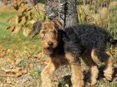 Close-up de cachorro airedale — Foto Stock