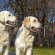 Golden Retriever Close-up in the park — Stock Photo