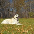 Golden Retriever Close-up in the park — Stock fotografie