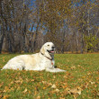 Golden Retriever Close-up in the park — Stockfoto