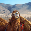 Camel  close-up — Stock Photo