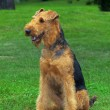 Airedale Close-up in the park — Stock Photo #7514129