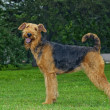 Airedale Close-up in the park — Stock Photo #7514153