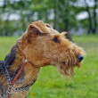 Airedale Close-up in the park — Stock Photo