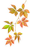 Branch with leaves — Stock Photo