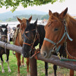 Stock Photo: Horses in harness