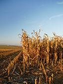 Harvested corn — Stock Photo