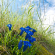 Royalty-Free Stock Photo: Blooming Gentiana