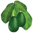 Avocados on a branch with leaves. — Stock Vector #7134831