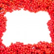 Mountain Ash Berries with blank white copyspace — Stock fotografie