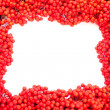 Mountain Ash Berries with blank white copyspace - Stock Photo