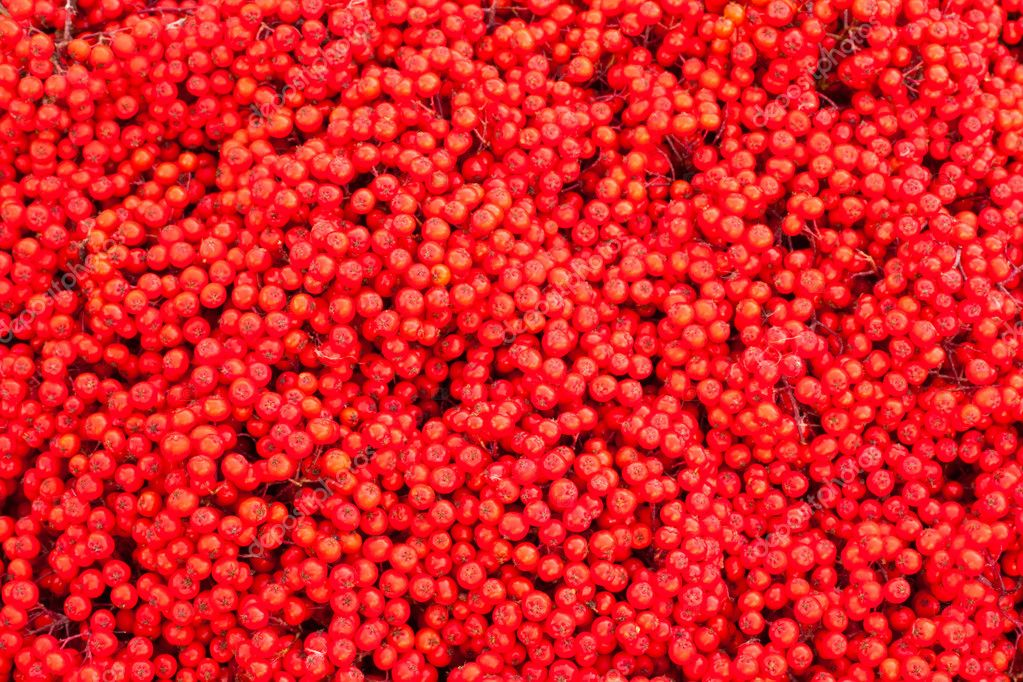 Background texture pattern of red mountain ash berries (Sorbus aucuparia). — ストック写真 #6821680
