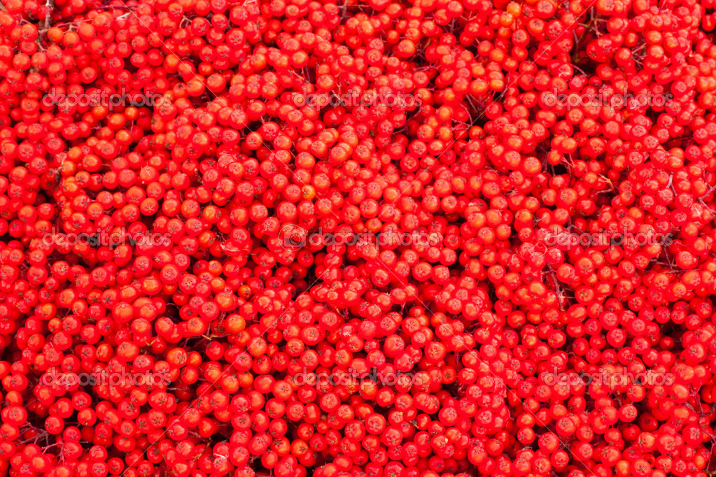 Background texture pattern of red mountain ash berries (Sorbus aucuparia).  Stockfoto #6821680