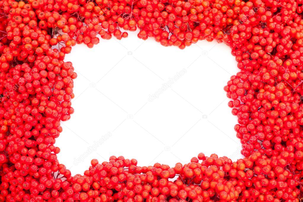 Background texture pattern of red mountain ash berries (Sorbus aucuparia) with empty white copyspace for your message.  Stock Photo #6821686