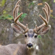 Portrait of mule deer buck with velvet antler — Stock Photo #6908351
