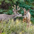 Two mule deer bucks with velvet antlers interact - Stock Photo