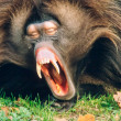 Male Gelada Baboon Monkey Yawning - Stock Photo