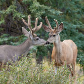 Two mule deer bucks with velvet antlers interact — Stock Photo
