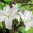 Stock Photo: White Lily