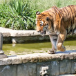 Walking tiger (Panthera Tigris) - Stock Photo