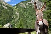 Donkey närbild — Stockfoto