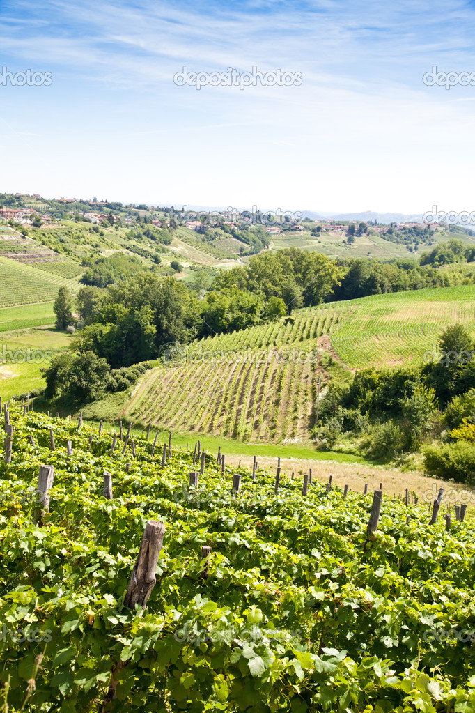 Barbera vineyard during spring season, Monferrato area, Piedmont region, Italy — Stock Photo #6839374