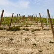 Barbera vineyard - Italy - Stock Photo