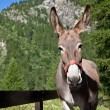 Постер, плакат: Donkey close up