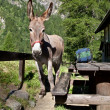 Donkey close up — Stock Photo #7575900