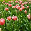Spring tulips impregnated by the sun — Stock Photo