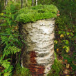Moss On The Stump — Stock Photo