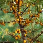 Sea-Buckthorn Berries — Stock Photo