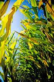 Corn Stalks — Stock Photo