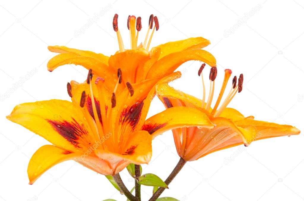 Orange lily isolated on white background.  Stock Photo #6839262