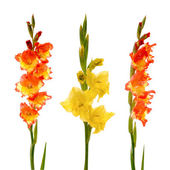 Red and yellow gladiolus — Stock Photo