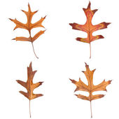 Four fall leaves — Stock Photo