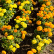 Stock Photo: Marigold flowers