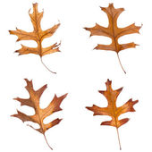 Four fall leaves — Stockfoto