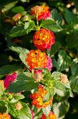 Flor de lantana — Foto de Stock