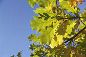 Oak leaves turned yellow on blue sky background — Stock Photo