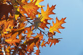 Oak leaves turned yellow on sky background — Stock Photo