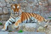 Laying Tiger — Stock Photo