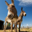 Two donkeys - Stock Photo