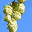 Stock Photo: Hop cones over blue sky